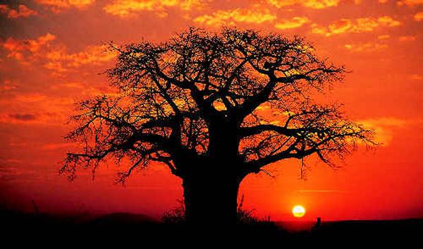Baobab rosso 2
