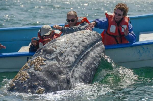 Balena accarezzata